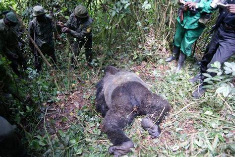 woran erkranken gorillas berggorilla regenwald