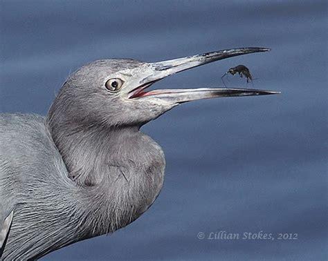 stokes birding blog bird photography at ding darling nwr