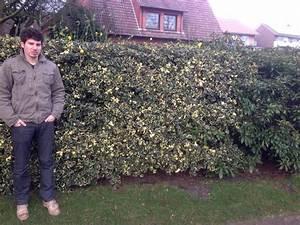 Ilex Hecke Giftig : stechpalme 39 pyramidalis aurea marginata 39 stechpalme ~ Lizthompson.info Haus und Dekorationen