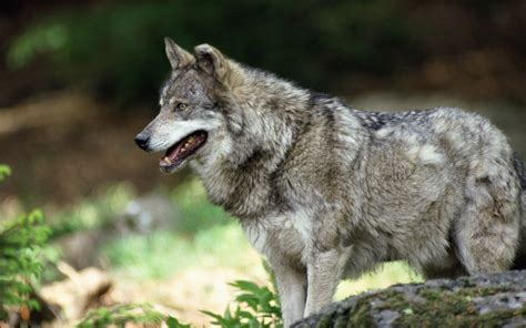 1080p Alpha Wolf Wallpaper by Wolf Hd Wallpaper Background Image 2560x1600 Id
