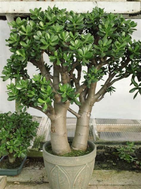 crassula ovata jade plant world  succulents