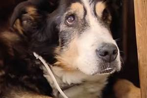 Wie Alt Werden Berner Sennenhunde : die ltesten hunde der welt und ihr rezept f r ein hohes alter ~ Eleganceandgraceweddings.com Haus und Dekorationen