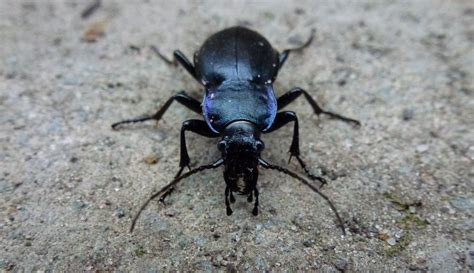 The Violet Ground Beetle   EverythingNotHuman.com