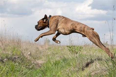 jump dog running  photo  pixabay