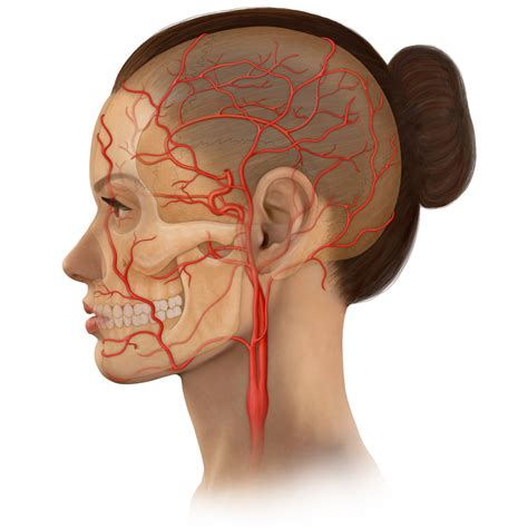 Over time, plaque hardens and narrows the arteries. Head & Neck Stock Art
