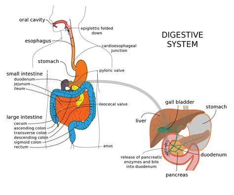 What Are Digestive Enzymes And How Do They Work Maxq