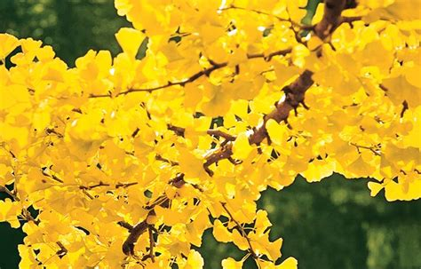 trees with yellow leaves in fall 25 best ideas about maidenhair tree on pinterest