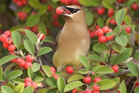 fruit bearing trees  attract birds