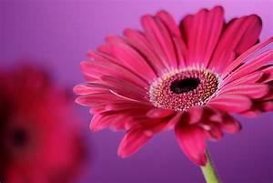 Beautiful Wallpapers: gerbera and daisy flower wallpaper