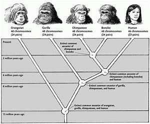 Evolutionary History  U2013 Kyle U0026 39 S Bonobo Website
