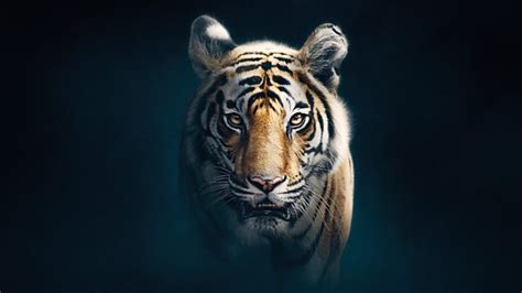 bbc  dynasties series  tiger