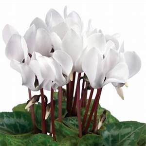 Zimmerpflanze Weiße Blüten : alpenveilchen cyclamen pflege anleitung ~ Markanthonyermac.com Haus und Dekorationen