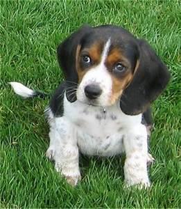 Pocket Beagle Dog Info, Temperament, Training, Puppies ...