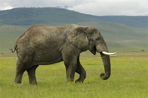 elephants  smell land mines scientists find