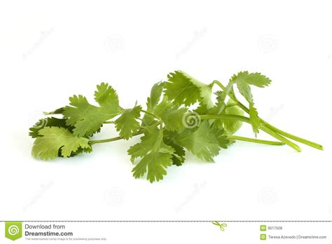 substitute for cilantro cilantro royalty free stock photos image 9517508