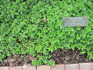 Information about marjoram as an herb