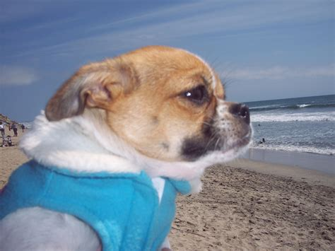 lollipops st visit   beach huntington beach dog