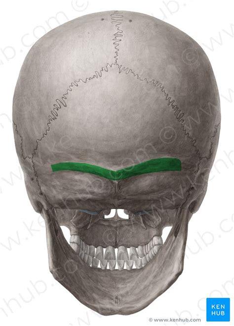 superior nuchal  linea nuchalis superior image