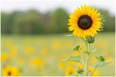 Burnside Farms – Sunflower Picking – Alexandra Michelle ...