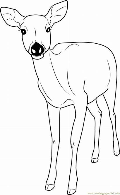 Deer Coloring Pages Sika Dear Formosan Printable