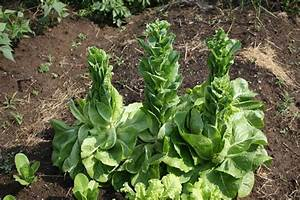 Garden Finance Why Does Lettuce Bolt and What Can I Do ...