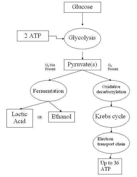 cellular respiration simple english wikipedia the free