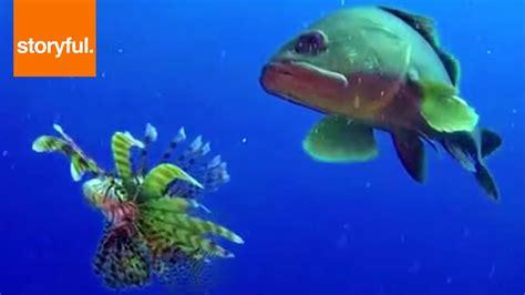 lionfish grouper