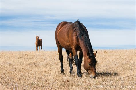 pryor mountains mustangs montana horses oceana wild states galadriel united