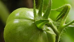 What Are The Growth Stages Of A Tomato Plant