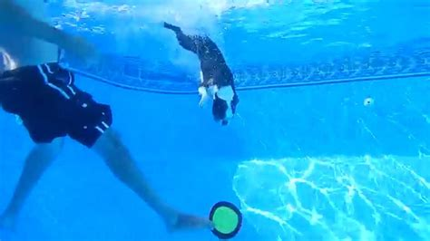 diving boston terrier swims  bottom  pool  frisbee