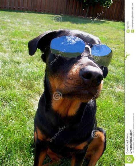 dog  sunglasses indognito stock image image