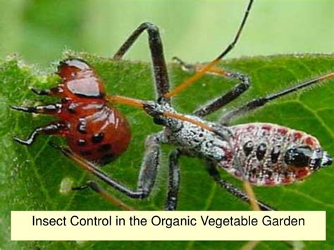 Ppt  Insect Control In The Organic Vegetable Garden