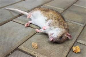 Comment Tuer Un Rat : amorce de poison pour une souris un rat ou un rongeur d ~ Melissatoandfro.com Idées de Décoration