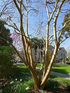Taille Du Lilas Des Indes : fichier p1320122 angers arboretum ga lilas des indes rwk ~ Nature-et-papiers.com Idées de Décoration