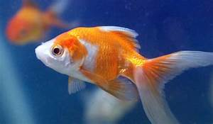 Gold Fish Goldfish Aquarium