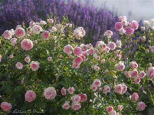Rosen Und Lavendel : rosa rosen romanze mein blumenbild des tages mein blumenbild des tages ~ Yasmunasinghe.com Haus und Dekorationen