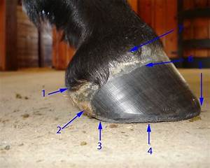 17 Best Images About Horse Hooves On Pinterest