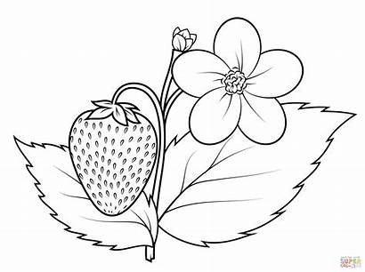 Coloring Strawberry Plant Pages Printable Drawing