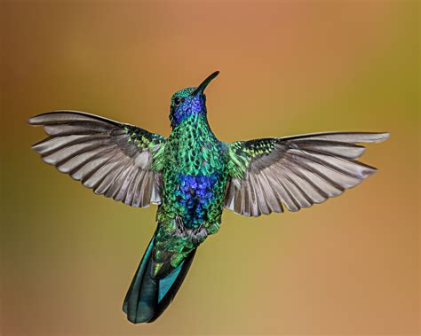 images wing green hummingbird fauna rip