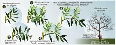 taille d un olivier en pot comment tailler un olivier ooreka