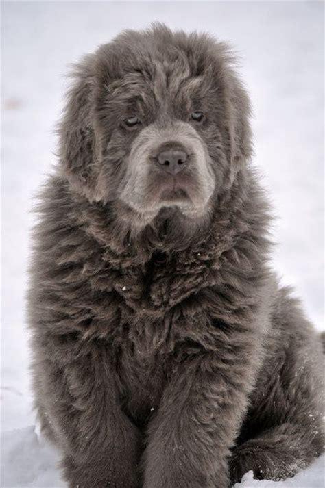 big fluffy grey dog luvbat