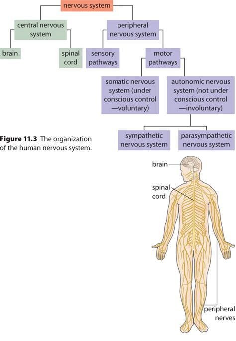 The peripheral nervous system consists of sensory neurons, ganglia (clusters of neurons) and nerves that connect the central nervous system to arms. Pin on Human body nervous system