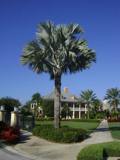 Buy Bismark Palm Trees in Miami, Ft Lauderdale, Kendall