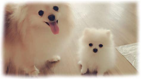 tiny white micro teacup pomeranian puppy youtube