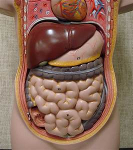 Stomach Cavity Anatomy