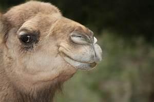 Smiling Camel Pics