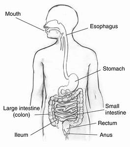 The Digestive System  Lesson 0389