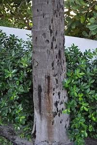 Palm Tree Trunk Damage - 1500  Trend Home Design