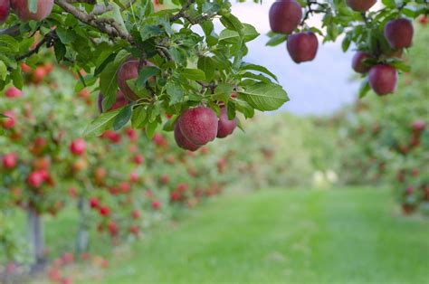 varieties  apple trees