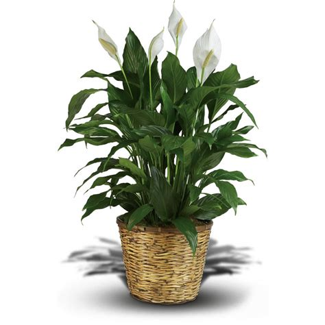 large house plants and house plants